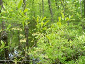 Leucothoe racemosa (fetterbush) in Pike County, PA